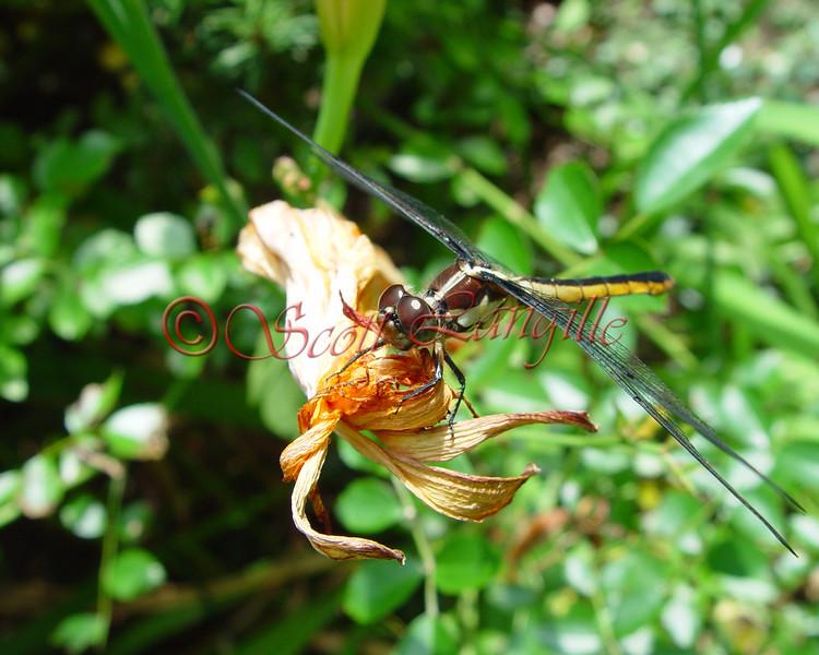 dragon fly 8X10