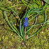 Grape Hayacinth (Muscari botryoides)