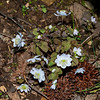 Rue Anemone (Thalictrum thalictrodes)