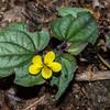 Halbred-Leaf Yellow Violet (Viola hastata)