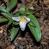 Least Trillium (Trillum Pusillum)