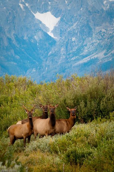 Elk @ Willow Flats