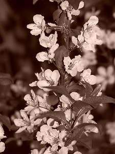 cherry blossoms, sepia, 3.08