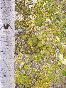 Fall color change among the Aspens. Palisades, Idaho. 10.08