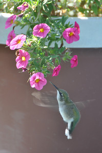 Hummingbird, North Dakota, 9.10
