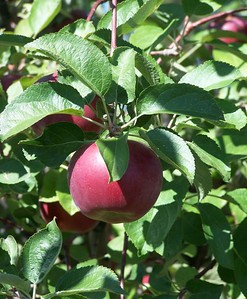 """Apple of my eye"". almost time for apple harvest, Idaho 9.08"