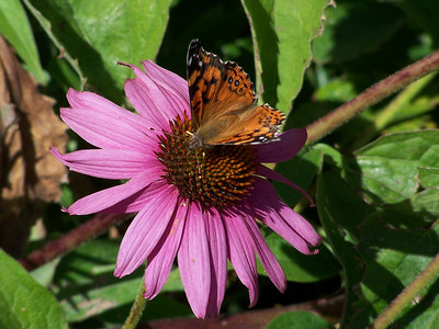 Butterfly on  blooming Echinacea (coneflower) in my flowerbed.  Idaho. 9.08.