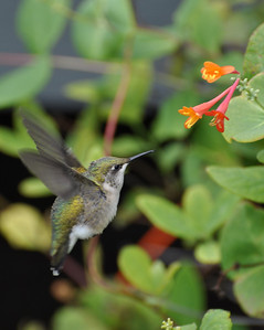 Hummingbird, North Dakota, cropped, 9.10