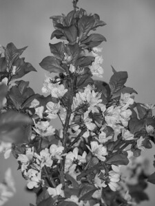 Cherry blossoms, b& w, 3.08