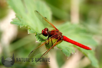 Flame Skimmer, Seattle, WA