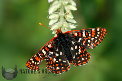 Edith's Checkerspot, Mt St Helens, WA