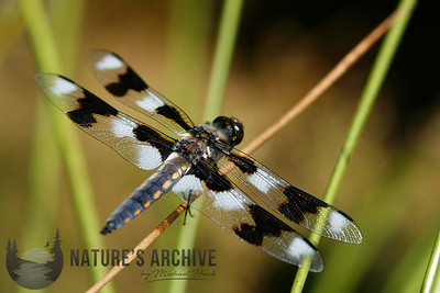 Eight-spotted Skimmer, Seattle, WA
