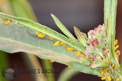 Oleander Aphids on Mexican Bloodflower, San Jose, CA