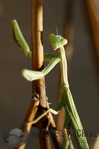 Preying Mantis, Maricopa, AZ