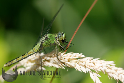Green Dragonfly, Nisqually NWR, Washington