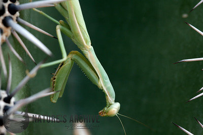Preying Mantis on Saguaro, Maricopa, AZ