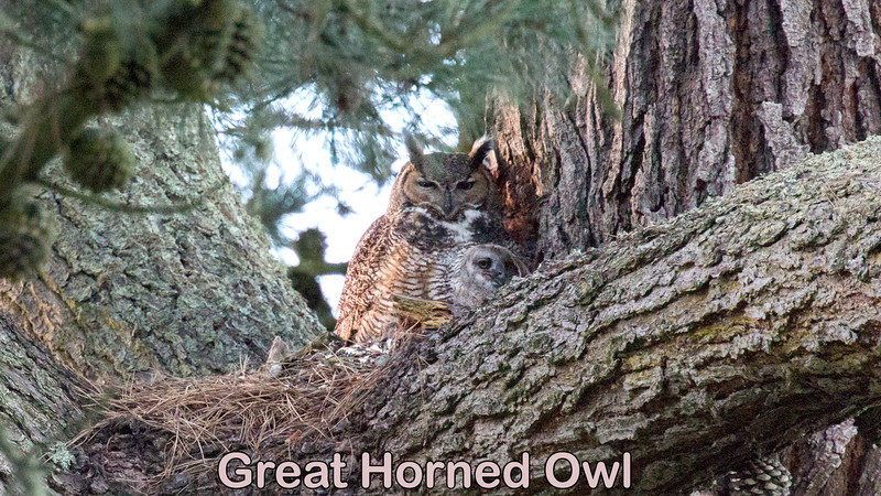 Great Horned Owl and chicks in Golden Gate Park.  The maintenance worker at the park said the chicks are about 2-3 weeks old at this filming.