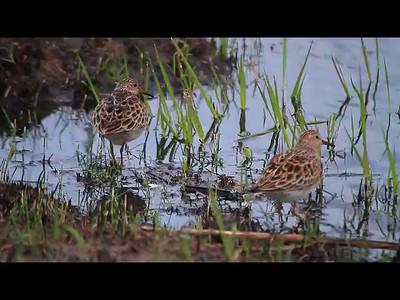Shorebird clip- Sherburne NWR