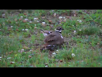 Killdeer Family- Front Yard