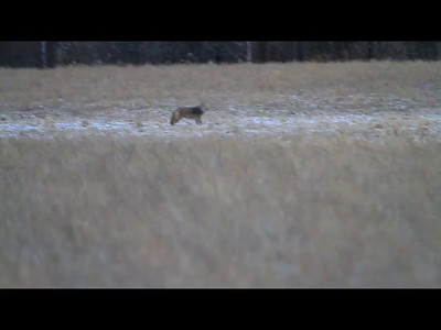 Coyote- Sherburne County