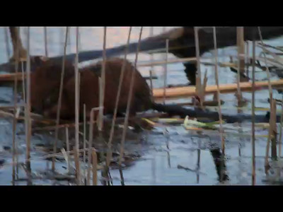 Muskrats- Sherburne NWR