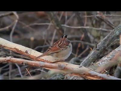 Bird clip- Sherburne NWR