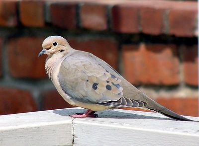 Same M. Dove