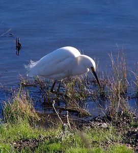 Snowy Egret, shot at Ballona Creek Wetlands, near Marina del Rey, CA.