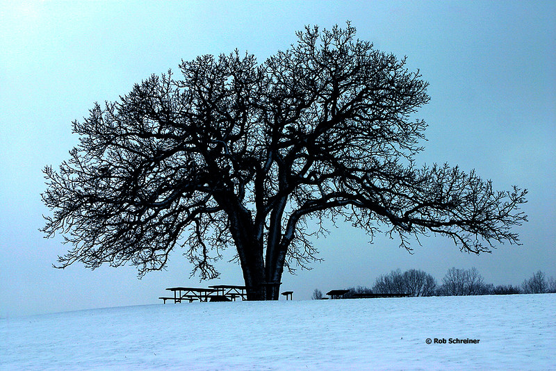 A cold lonely tree in the forest preserve.