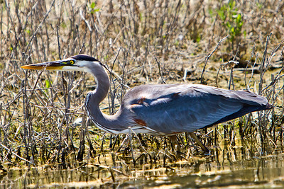 Blue Heron stalking its prey along the lake front of Lake Berreyessa, Napa California