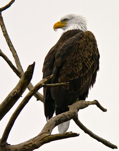 A beautiful Bald Eagle keeping a watchful eye on the Sacramento Wildlife Refuge, California.