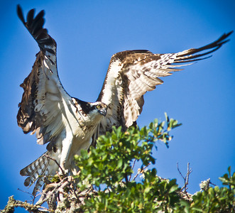 This Osprey was out gathering nest building material and did not mind we were close to its nest. Such amazing and powerfull birds of prey!