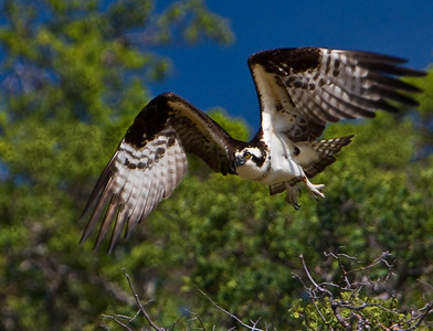 As we approach, an Osprey takes flight over Lake Berryessa.