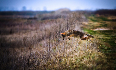 Coyote pouncing after a field mouse along a trail at the Sacramento Wildlife Refuge, California