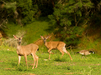 A young buck and doe in early spring at Lake Berryessa, California
