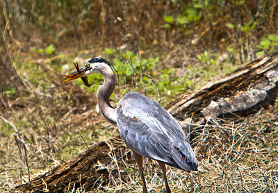 This Blue Heron was stalking the shoreline and found a large crawdad to devour. The Heron, ate it whole in only a few seconds
