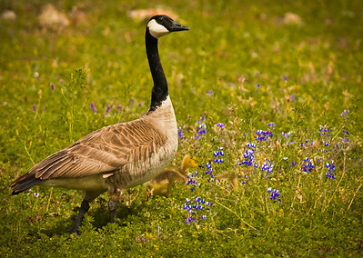 A mother goose leading her flock and keeping a watchfull eye on us.