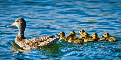 A group of newborn ducklings at Lake Berryessa, keep a close eye on us.