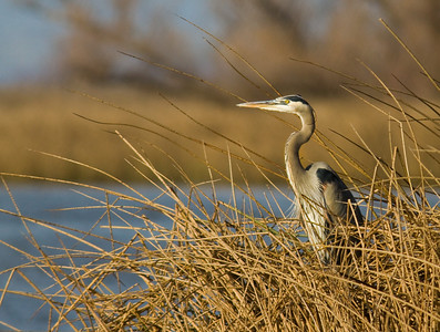 Heron surveying his territory at the Sacramento Wildlife Refuge