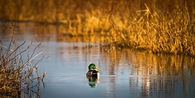 A lone Mallard swimming down the marsh. Sacramento Wildlife Refuge, California.