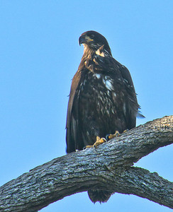 juvenile Bald eagle keeping a watchfull eye