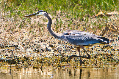 The Great Blue Heron (Ardea Herodias), stalking its prey along the lake front of Lake Berreyessa, Napa California.