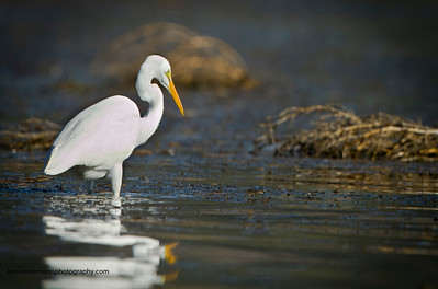 The Egret silently stalks its prey in the shallows of Lake Berryessa, California