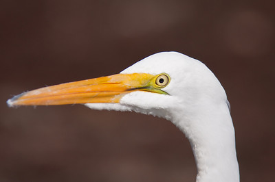 A very brave Egret at Lake Berryessa,Ca. I was within 20 feet of this stealth hunter with a Canon 40D and a 300F/4L IS lens with 1x4 converter...no crop on this shot!