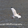 White Ibis (Eudocimus albus) photographed in flight in Cullinan Park, Fort Bend Co., Texas