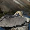 Resting Brown Pelican, Galveston, Texas