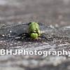 Green Dragon-fly I, Cullinan Park, SugarLand, Texas, 2008