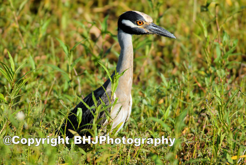 Yellow-crowned Night-Heron, Cullinan Park, SugarLand, Texas 2007
