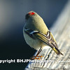 Ruby-crowned Kinglet, Cullinan Park, Sugar Land, Texas, 2009