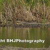 Gator in Cullinan Park, Sugar Land, TX